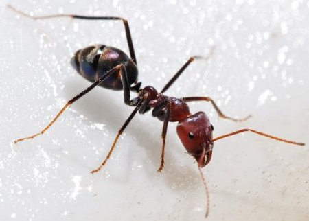 ant picker