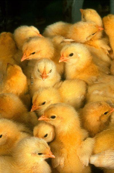 chicken sexer