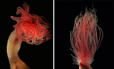 medusa worm