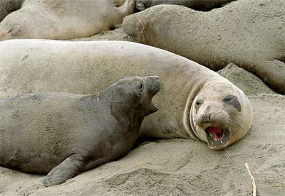the elephant seal