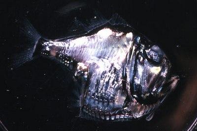 the hatchet fish