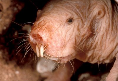 the naked mole rat