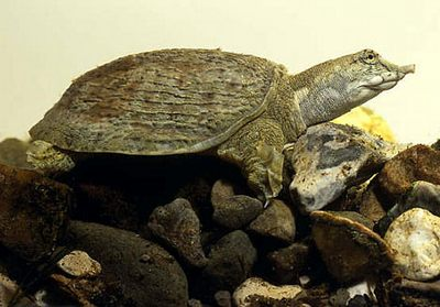 the soft shell turtle