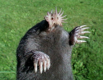 the star nosed mole