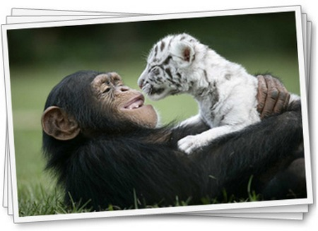 chimpanzee and big cats