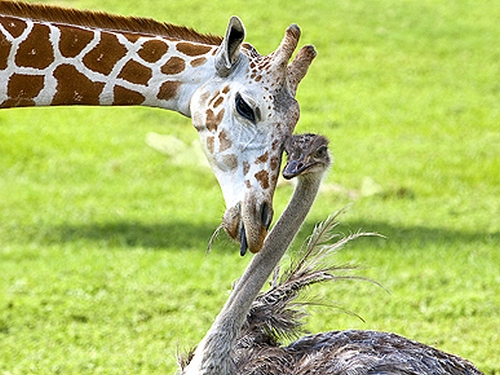 giraffe and an ostrich