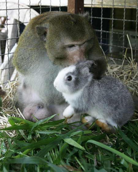 macaque and rabbit