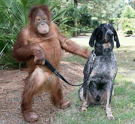 orangutan and a blue tick hound
