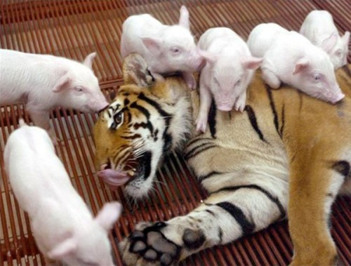 tigres and piglets
