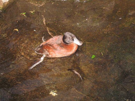 argentine lake duck