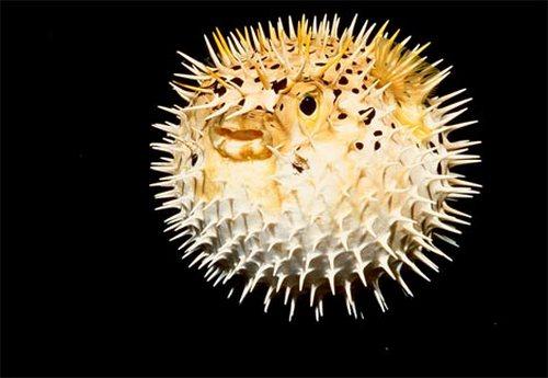puffer fish01