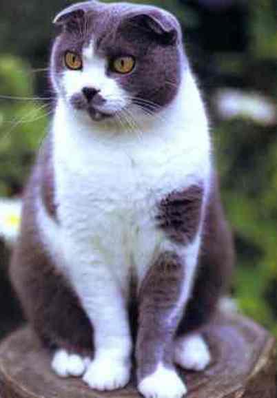 Cat Breeds With Weird Ears 4