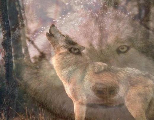 wolve kill