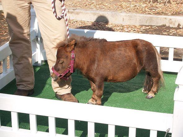 miniature horses02