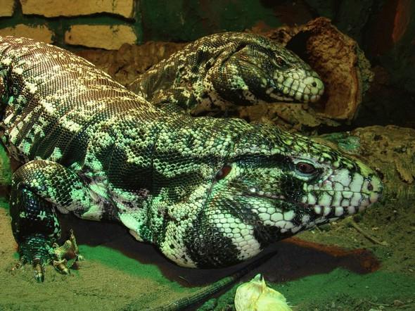 carnivorous lizards