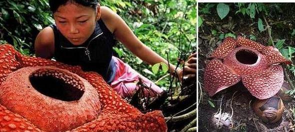 rafflesias flower01