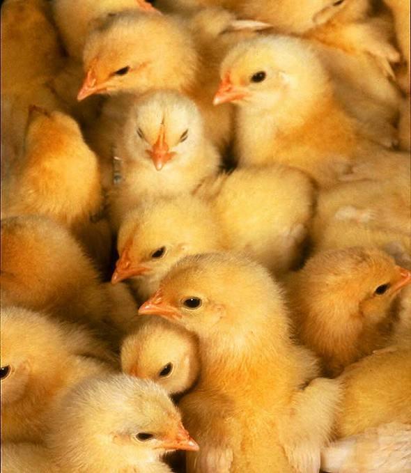 chicken sexer01