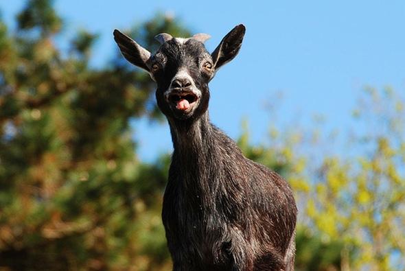 goat skin waterbeds