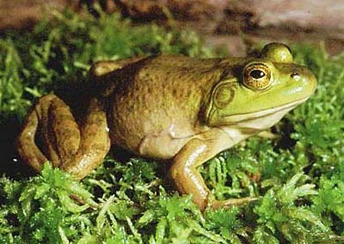 giant bullfrog01
