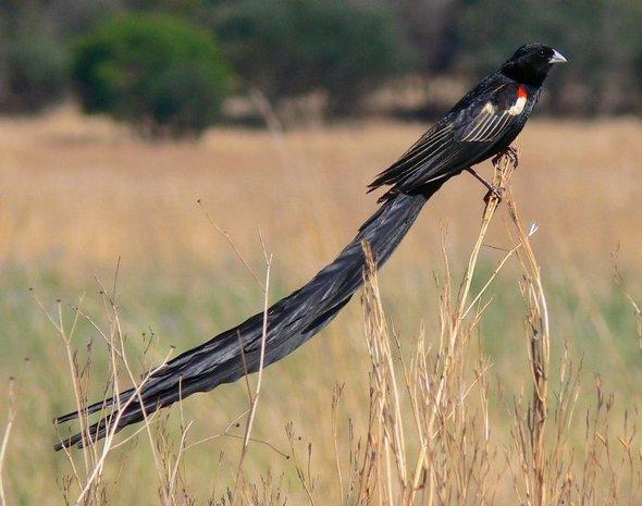 widowbirds01