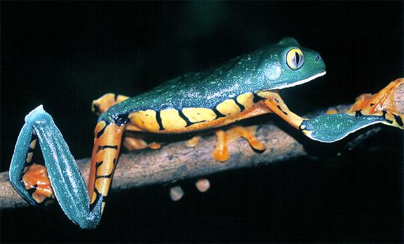 calcarifer