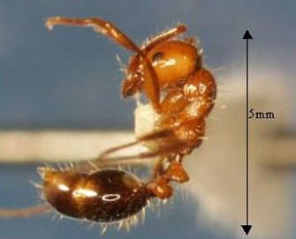 fire ants1