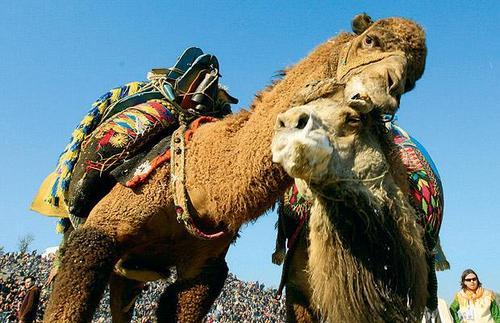 camel wrestlers1