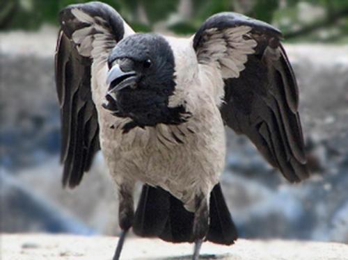 crow manhunters