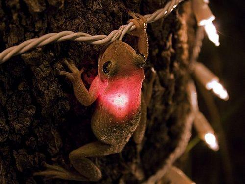 iron frog