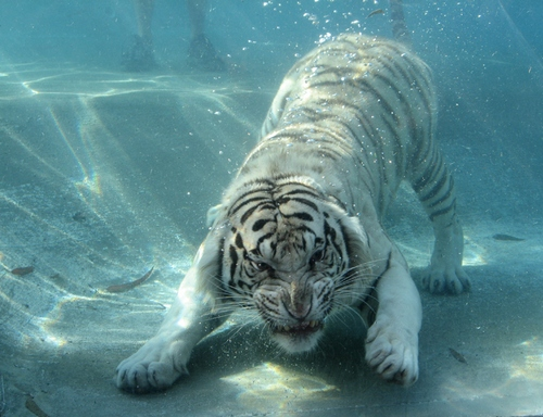 water tigers