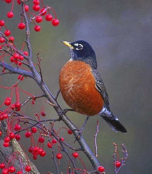 american robin and berries