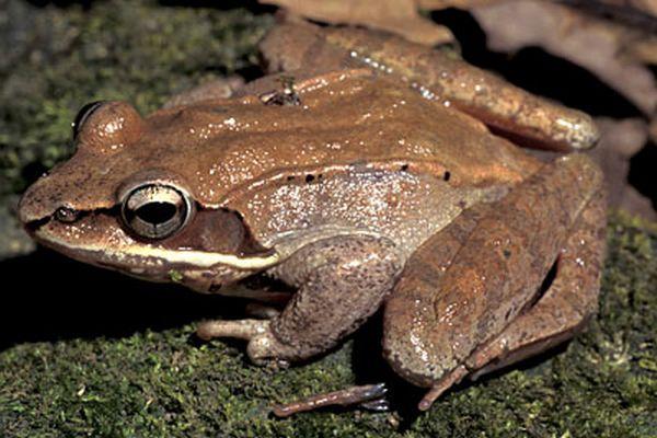 Frozen Wood Frog