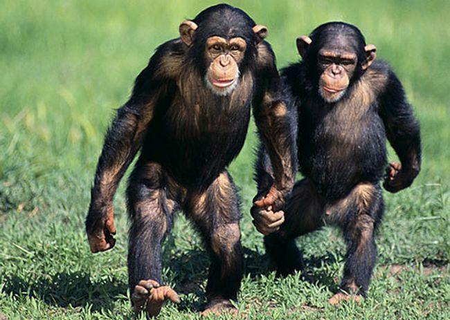 Personality Traits of Chimpanzees