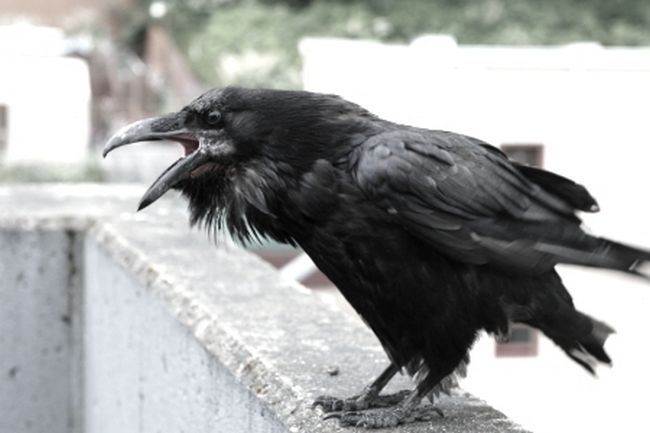 Reasoning of the Crows